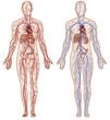 Постер, плакат: Sistema vascular y arterial