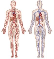 Sistema vascular y arterial