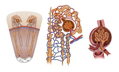 Nefròn  estructura del  riñón