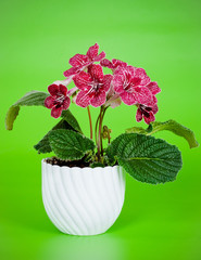 streptocarpus red house plant