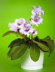 house plant streptocarpus in bloom