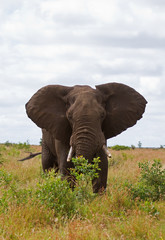 African elephant browsing; Loxodonta africana