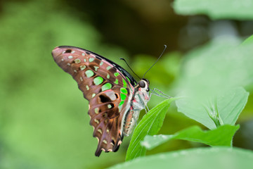 The Tailed Jay Butterfly
