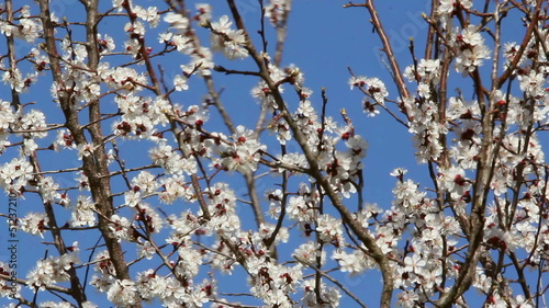 Apricot Orchard / Apricot flowers blooming in springtime.