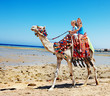 Quadro Tourists riding camel  on the beach of  Egypt.