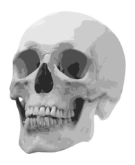 single human skull illustration