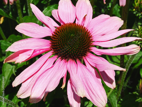 Beautiful echinacea close up