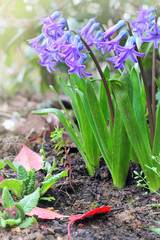 Purple hyacinths in the garden