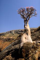 Yemen. Socotra island. Bottle tree