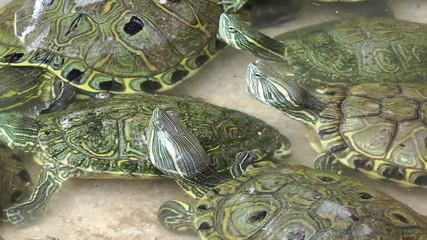 Turtle in Pool at Isla Mujeres Turtle Farm, Cancun, Mexico