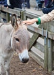 touching donkey in the zoo