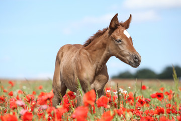 Arabian foal in red poppy field