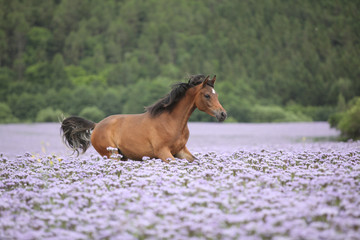 Nice arabian horse running in fiddleneck field