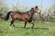 Quarter horse in front of flowering plum trees