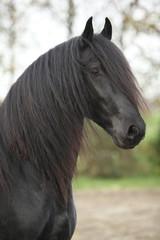 Portrait of nice friesian stallion with long hair