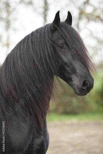 Portret nice fryzyjskiej ogiera z długimi włosami