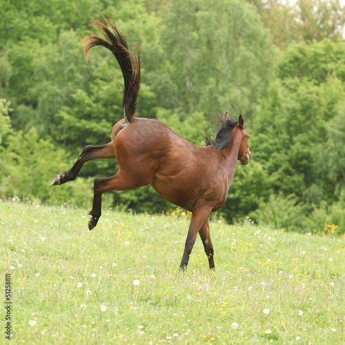 Brown konia kopanie na pastwisku