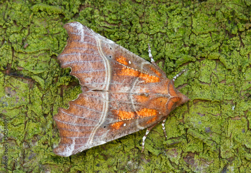 Moth (Herald) on green bark