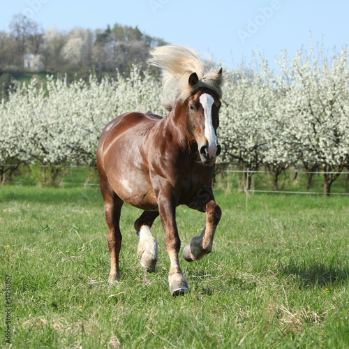 Gorgeous draft horse running in front of flowering trees