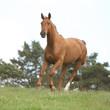 Nice chestnut horse running in freedom
