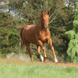 Nice chestnut horse running in freedom and making the dust