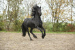 Black friesian stallion galloping on sand in autumn