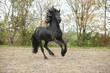 Black friesian stallion galloping on sand in autumn