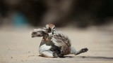 African ground squirrel, Kalahari desert