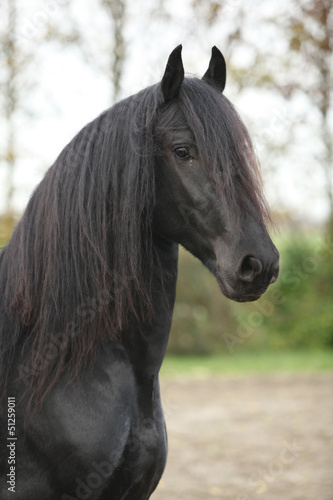 Portrait of nice black friesian stallion