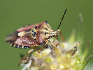 Crawly sloe bug (dolycoris baccarum)