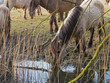 Konik horses drinking out of a ditch in spring