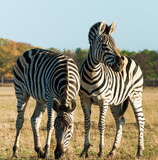 Two striped zebra in the African savanna