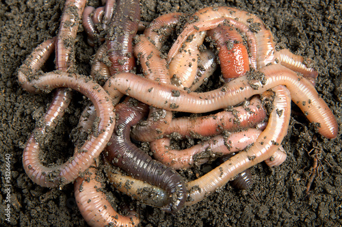 Tangle of earthworms