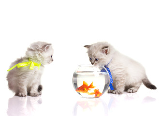 Two little kittens and two goldfish