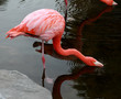 Red American Flamingo.