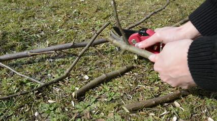Cutting twigs of apple tree in springtime