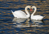 Romantic swans in spring.