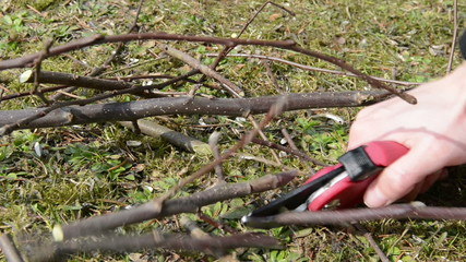 Cutting twigs of apple tree in springtime