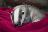 Sleeping orphaned badger (Meles meles) baby poster