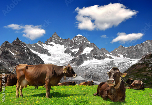 Cow on the meadow - Swiss Alps