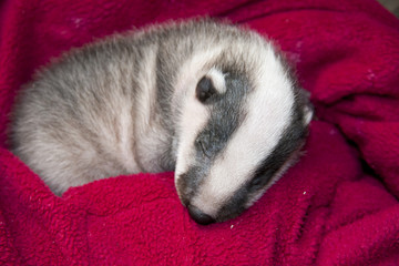 Sleeping orphaned badger (Meles meles) baby