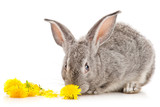 Gray rabbit eating dandelion