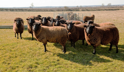 Jacobs Sheep, Early Spring Sunshine.