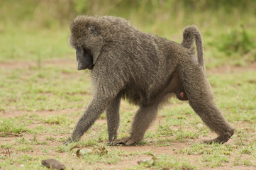 Olive Baboon walking
