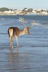 Ciervo berrea en la playa