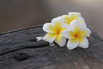 white and yellow Frangipani Flower on old woods.