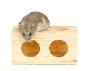 Dwarf Hamster Sat on Wooden Block