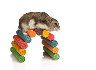 Dwarf Hamster Climbing Coloured Wooden Arch