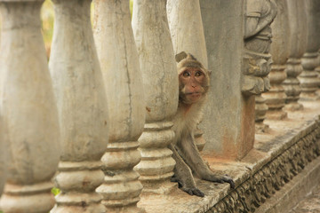 Long-tailed macaque playing at Phnom Sampeau, Battambang, Cambod