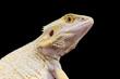 Leucistic bearded dragon / Pogona vitticeps